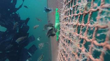 Her ser man leppefisk og rognkjeks i samme merd. Klikk for større bilde. Foto: Reidun Bjelland/HI.