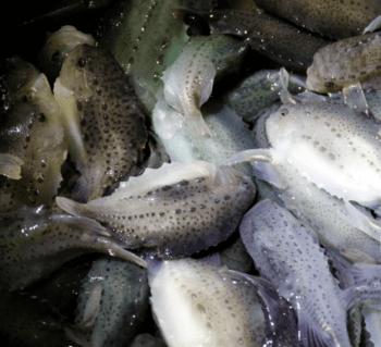 Yngel påvekst hos Steinvik Rensefisk. Sluttkontroll på leveringsklar fisk (45g). Foto: Steinvik Rensefisk.