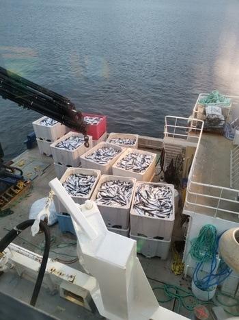Gratanglaks har mistet store mengder fisk som følge av algeoppblomstringen. Foto: Gratanglaks