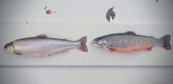 Sjørøye som har vært 3 måneder i ferskvann etter et 4 ukers opphold i sjøvann. Fisken til venstre er en umoden fisk, mens fisken til høyre er en kjønnsmoden hannfisk. Foto: Per Gunnar Fjelldal / HI