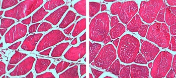 Bilder av muskelfibre hos postsmolt i lav strøm til venstre og veldig sterk strøm til høyre. Muskelfibrene var mindre og langstrakte i lav strøm og større og rundere i sterk strøm. Foto: Carlo Lazado, Nofima.