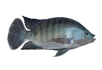 An adult tilapia. Image: GenoMar.