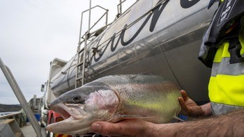 Petuna's breeding programme is seeking out fish that are tolerant of warming sea temperatures. Photo: Petuna.