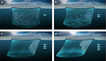 Figuren viser hvordan laksen reagerer på de ulike strømhastighetene i havet. Ved lave strømmer svømmer fisken i en sirkulær retning i sin foretrukne svømmehastighet (a). Når strømmen begynner å overgå fiskens foretrukne svømmehastighet, vil laksen slutte å svømme sirkulært og heller svømme mot strømmen (b). Ved sterk strøm, vil fisken regulere svømmehastigheten utfra hvor sterk strøm det er (c), og når strømhastigheten overgår svømmekapasiteten, blir de slitne og presses mot merdveggen (d).