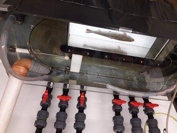 En laks får målt metabolismen sin i et respirometri-system. Foto: Malthe Hvas / Havforskningsinstituttet