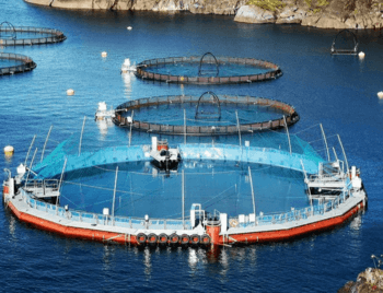 Cermaq is using a floating closed cage for smolts but transfers to fish to open net pens for grow-out. The semi-closed containment system (SCCS) has an impermeable fabric wall and is supplied with water piped from beneath the lice layer. Click on image to enlarge. Photo: Cermaq.