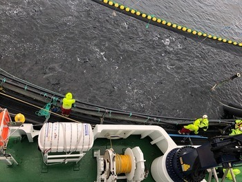 Fish being crowded during a mechanical delousing operation.