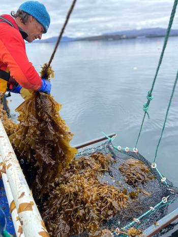 Sugar kelp is harvested at the Scalpay site. Photo: Mowi.