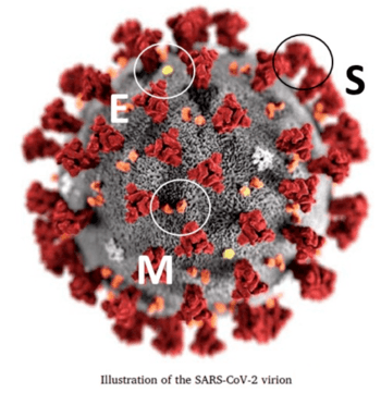 Estructura tridimensional simulada del coronavirus. Proteína M (clave en transmisión transmembrana), proteína E (clave para el ensamble viral), proteína S (responsable de unión al receptor celular) (Fuente: Sohrabi et al., 2020).