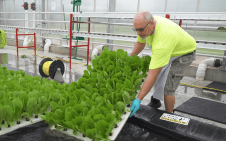 Lettuce grown with RAS by-product nutrients is harvested.