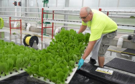 Cultivo de lechugas en sistema de acuaponía.
