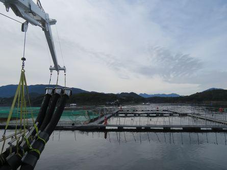 Ad portas de la primera cosecha del Ronia Diamond en Chile. Imagen: Salmonexpert.