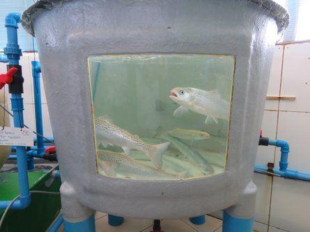 Estanque con peces infectados con una de las cepas que mantiene el laboratorio.
