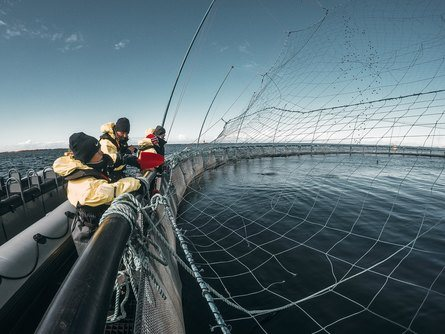 Her håndfôrer noen av de besøkende laksen på lokaliteten. Foto: Bjørøya.