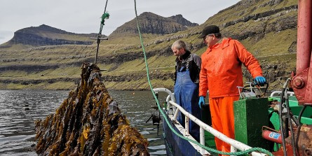 Above: Seaweed grown by Ocean Rainforest. Olavur Gregersen is on the right, in orange oilskins. Photo: Ocean Rainforest. Right: Lines of floats that support the ropes used to grow Ocean Rainforest's seaweed. Photo: Harald Bjoergvin. Click on images to enlarge.