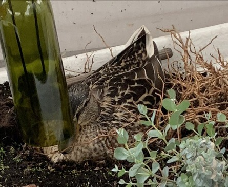 For tre uker siden kom det en and flyvende og la seg til å ruge på åtte egg på akterdekket. Foto: Privat