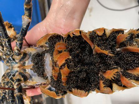 En porsjonshummer er 20 cm lang og veier ca 250 gram, og er dermed under minstemålet for villfangst. Her er et eksemplar med rogn. Foto: Norwegian Lobster Farm