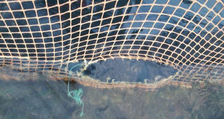 Grieg puts Loch Snizort escape loss at 21,700 fish