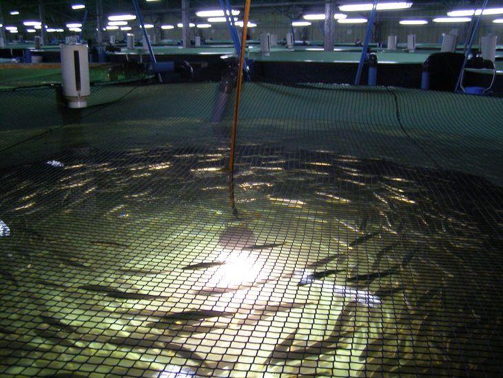 Aprueban proyecto de engorda de salmón en tierra en Biobío