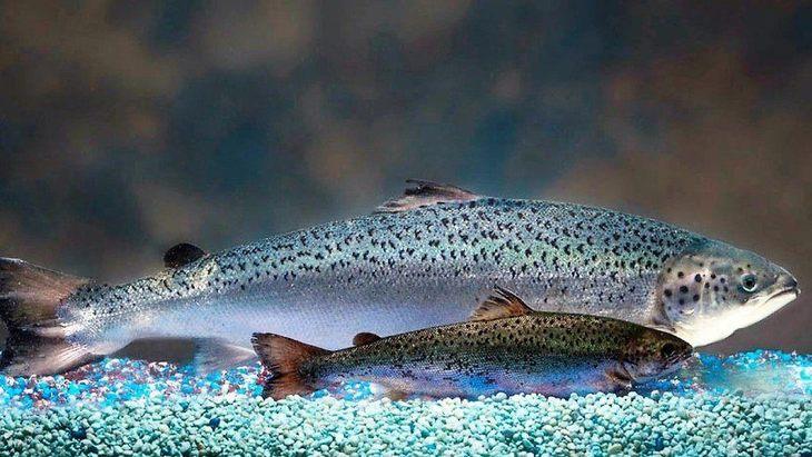 FDA limita operación de AquaBounty en Estados Unidos