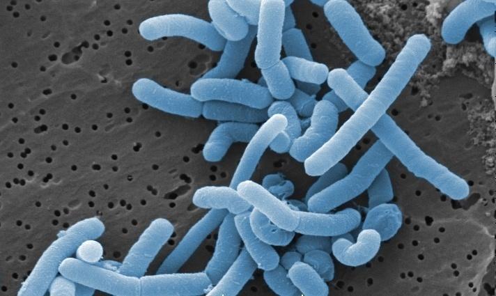 Prueban lactobacilo como transportador de antígeno para vacuna contra IPNv