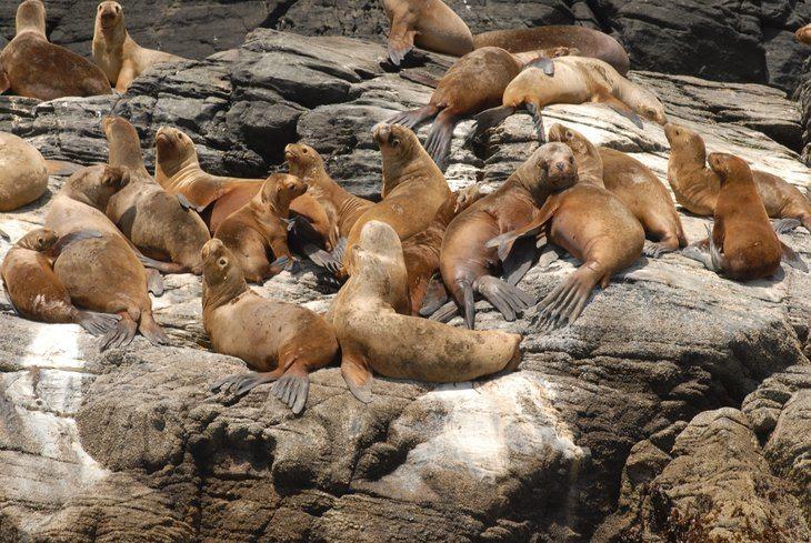 Subpesca llama a la salmonicultura a mejorar prácticas con mamíferos marinos