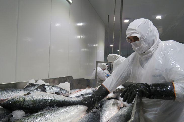 Muestran preocupación por escasez de trabajadores en la industria salmonicultora