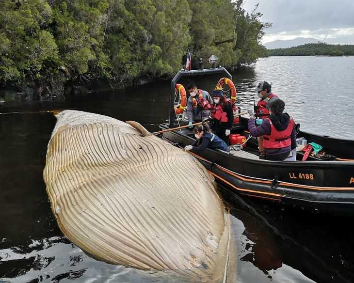 Sernapesca exige a salmonicultores resguardos ante presencia de ballenas en Aysén