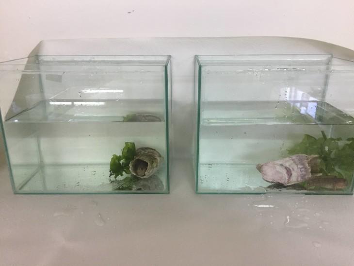 ¿Puede el pez Hypsoblennius sordidus (cachudito) depredar al Caligus?