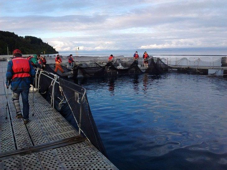 Recaptura de salmones en Lago Llanquihue llega a casi 18 mil ejemplares