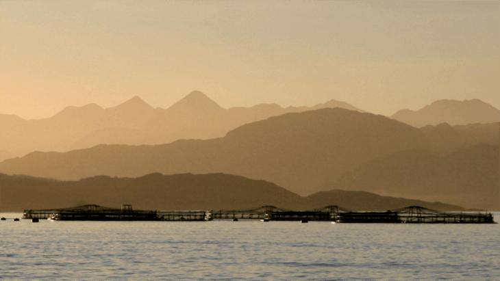 Mowi cosecha su primer salmón orgánico en Escocia