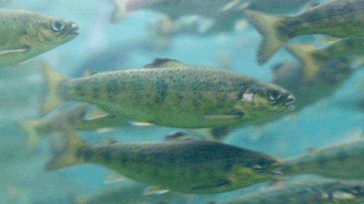 Canadá: Mowi cosecha 200 mil peces al confirmar presencia de virus ISA