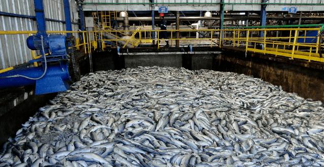 Algal blooms cause three fish die-offs in Chile
