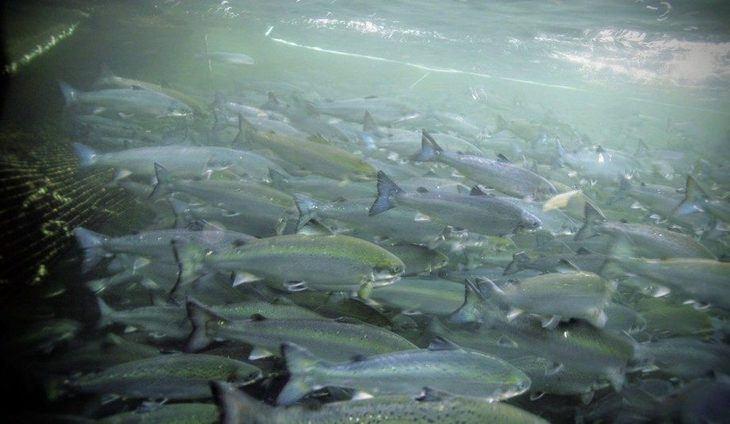 Estudio: salmón experimenta reacción de pánico y lesiones por agua caliente