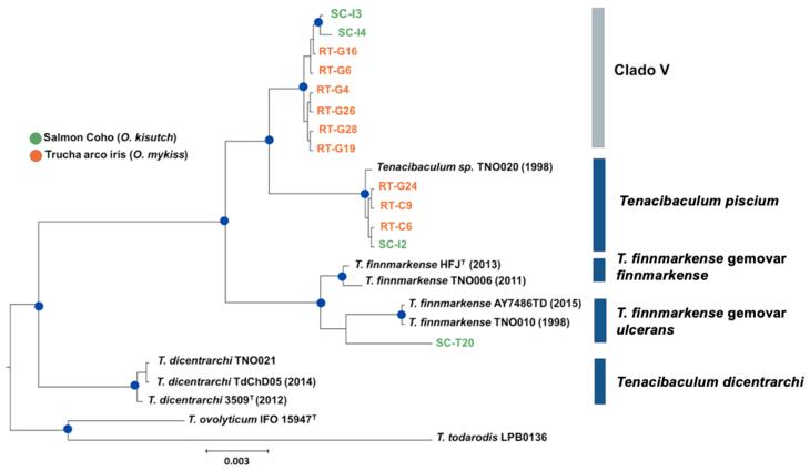 Dos nuevas especies de tenacibaculum son validadas taxonómicamente