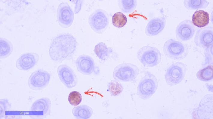 Pathovet desarrolla anticuerpos policlonales específicos para CD4 y CD8 en salmones
