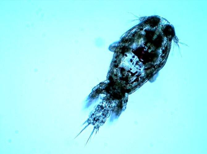 Revelan nuevo bioensayo para evaluar sensibilidad de Caligus a azametifos