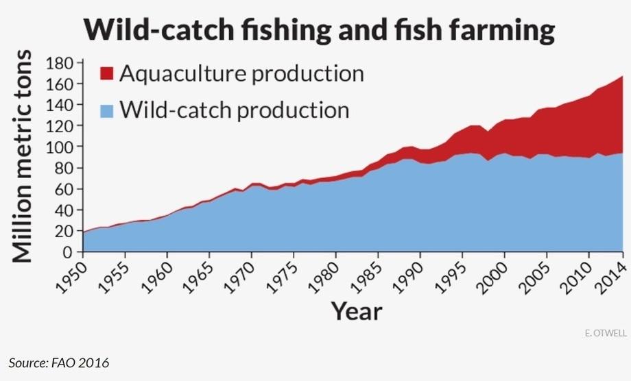 Fiskeoppdrettsnæringen er i vekstmodus, mens fangst av villfisk har flatet ut. I 2014 var oppdrettsandelen av det totale volumet av fangs tog oppdrett hele 44 %. Tallet går over 50 prosent om man base ser på det som går direkte til menneskemat. FAO-figur, brukt i artikkelen.