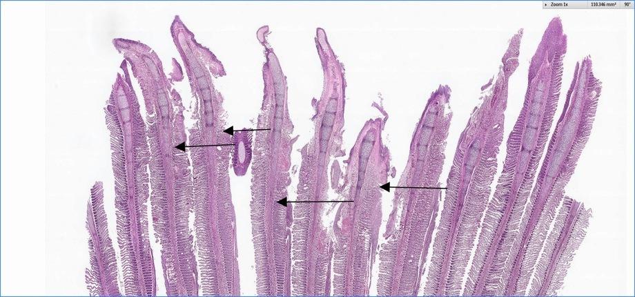 Gjellene er nedbrutt ytterst på filamentene. Kilde: Pharmaq.