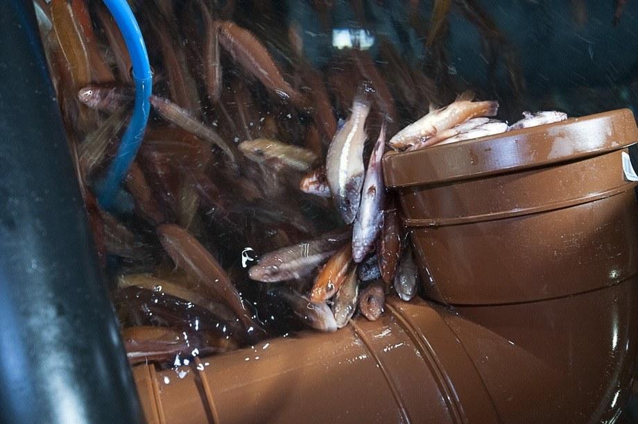<p>Fisken trives i klumper, og tar seg gjerne en lur. En berggylte med buken i været er langt fra så illevarslende som om var den en laks.</p>