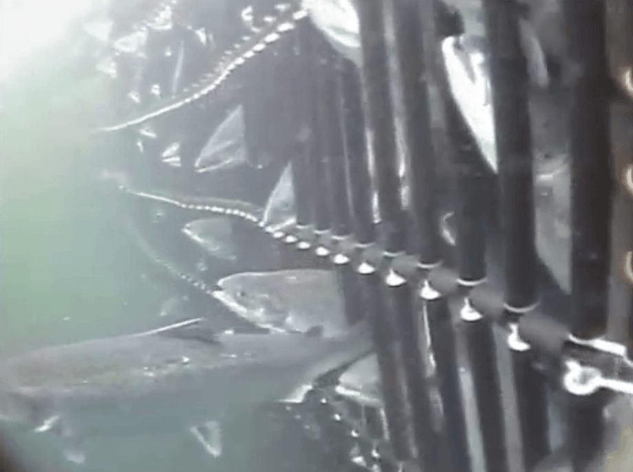 Fish swimming through a Flexi-Panel during grading. Photo: Grading Systems (UK) Ltd