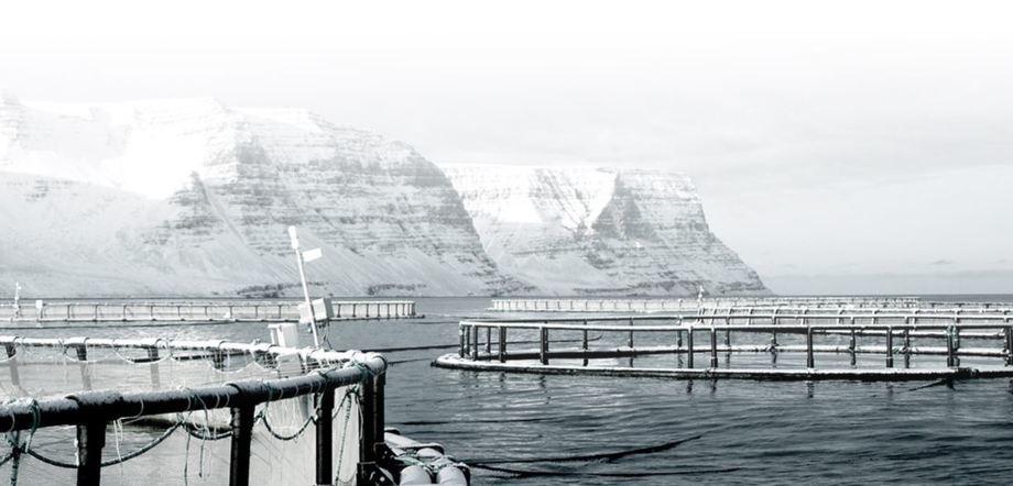 Arnarlax har hatt ekstraordinær høy dødelighet som følge av håndtering av fisk ved svært lave sjøtemperaturer på Island. Foto: Arnarlax.
