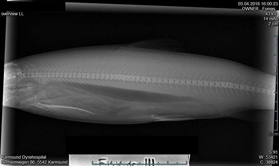 Skader på ryggrad som følge av elektrisk strøm i kar. Røntgen tatt hos Karmsund Dyrehospital/Solveig Nygaard/FoMAS.