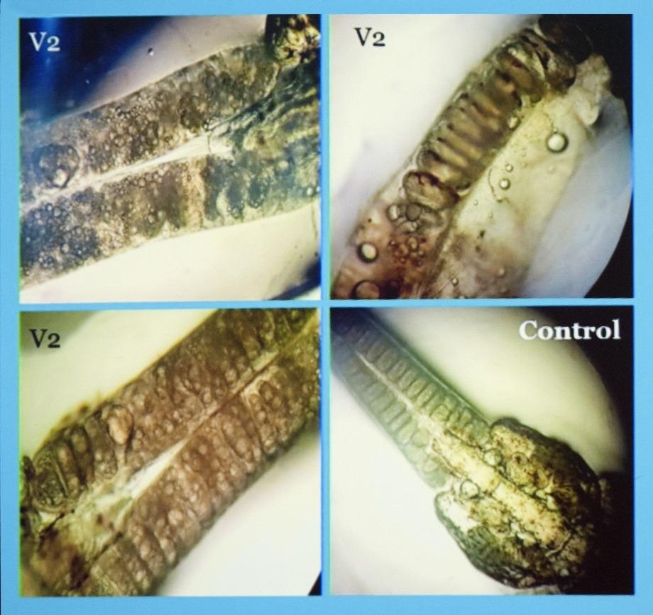 Eggstrenger av Caligus rogercresseyi som har beitet på laks vaksinert med prototypen av en lakselusvaksine. 22 dager etter påslag på laksen. Kilde: Pedro Ilardi Lazcano.