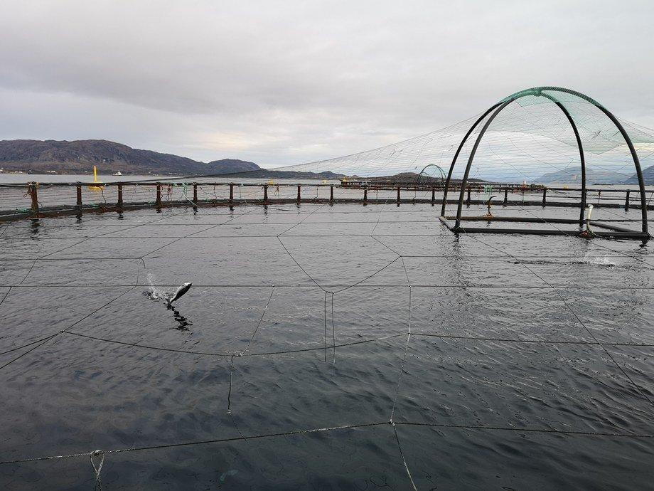 <p>Laks som hopper i sjøen på lokaliteten«Lille Kvitholmen» til SalmoNor. Foto: Ole Andreas Drønen</p>