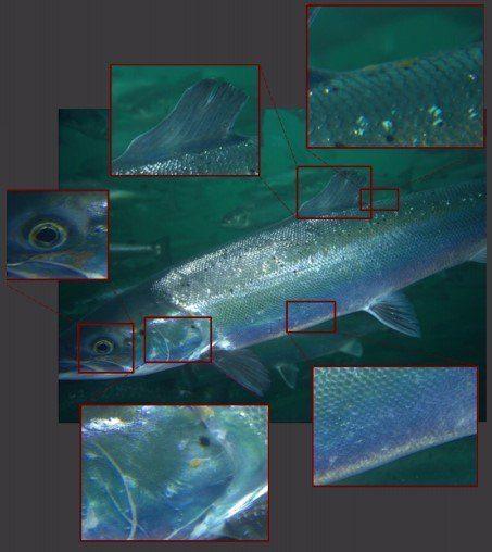 Med algoritmene til Aquabyte og kamera til Imenco Havbruk ønsker de å kunne identifisere lakselus på fisken slik at man på denne måten kan telle lusenivået i merden. Foto: Aquabyte.