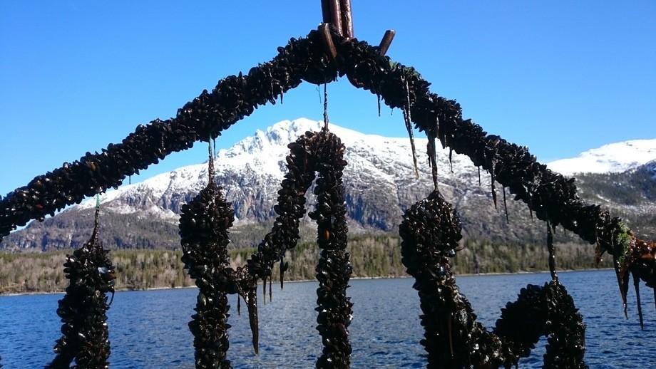 Blåskjell kan også være et tilskudd til multitrofisk havbruk, sammen med laks og tare. Foto: Veterinærinstituttet.