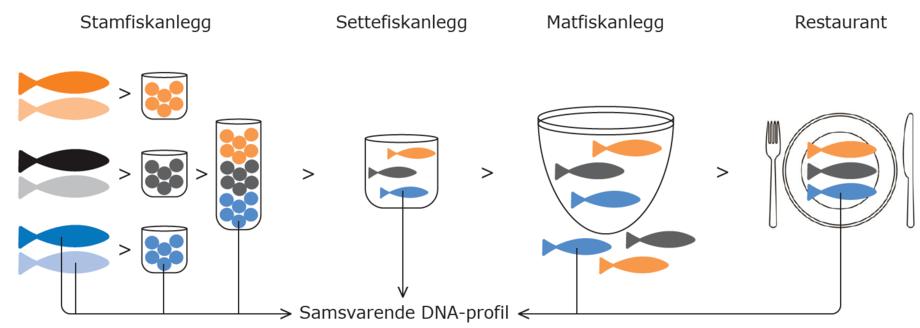 For å produsere sporbar laks (TRACK), blir det på stamfiskanlegget laget rogn med en unik foreldresammensetning og dermed en unik DNA-profil. Det blir tatt en DNA-prøve fra all foreldrefisk brukt til en spesifikk rognleveranse. DNA-informasjonen lagres i en database under et eget leveringsnummer. Gjennom hele verdikjeden fra rogn til laks på tallerkenen, kan en laks spores tilbake til foreldrefisk og eier ved å ta en DNA-prøve av laksen som sjekkes opp mot databasen. Ved positivt DNA-treff, blir det verifisert at laksen opprinnelig kommer fra en rognleveranse som er levert til et bestemt settefiskanlegg på et gitt tidspunkt.