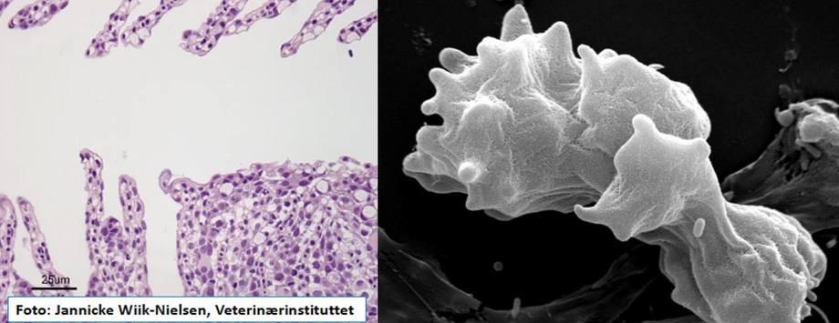 Bildet til venstre viser histologi av gjellevev hos laks av med AGD. Bildet til høyre er et elektronmikroskopi-bilde av selve amøben (N. perurans) Foto: Jannicke Wiik-Nielsen, Veterinærinstituttet.