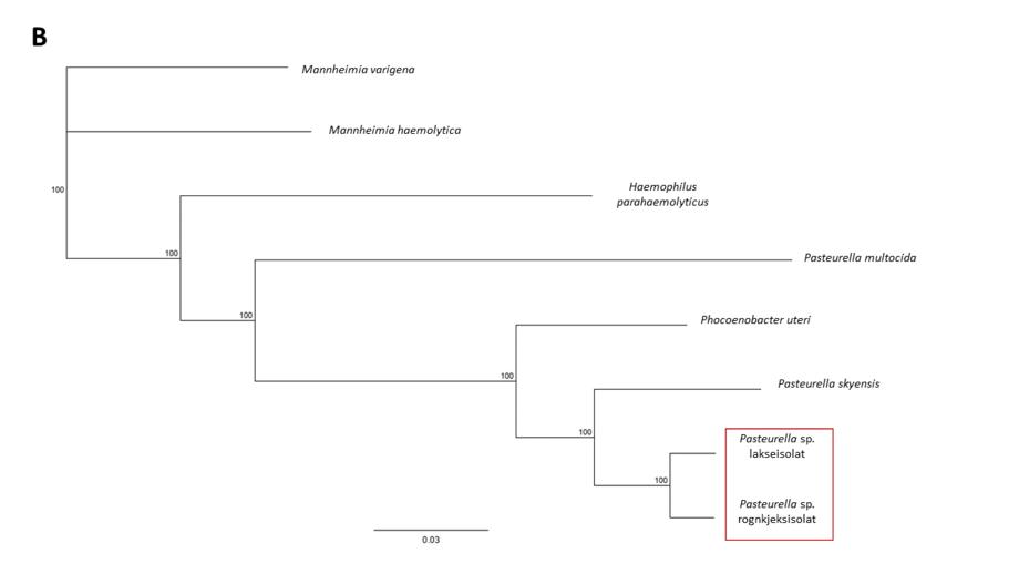 Figur B) Fylogenetisk analyse av fire konkatenerte «house-keeping» gener fra Pasteurella spp. rognkjeks og lakseisolat viser at de er to genetisk ulike isolater hvor Pasteurella skyensis er nærmeste kjente slektning.